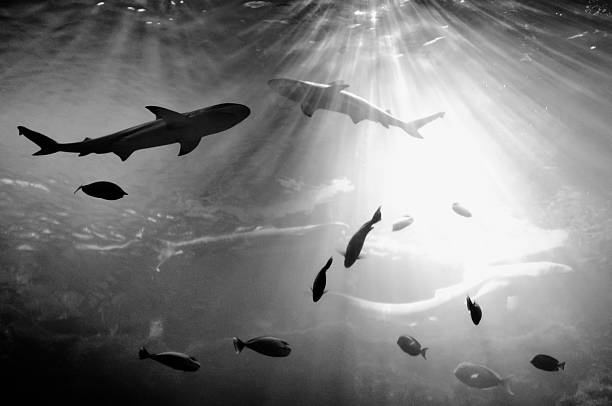 Squales fish