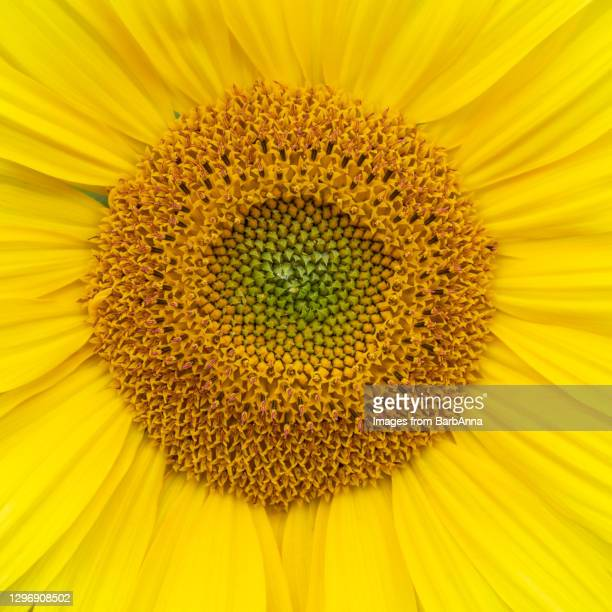 square composition close-up image of a vibrant yellow sunflower - petal stock pictures, royalty-free photos & images