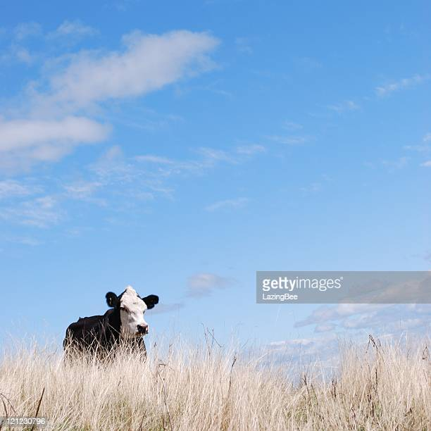 Square Composition of a Cow