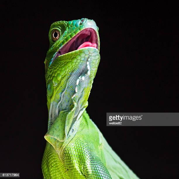 square crop of a green iguana - península de nicoya fotografías e imágenes de stock