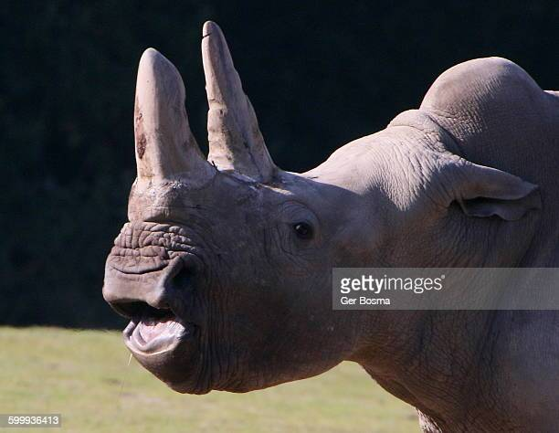 Square Lipped Rhino