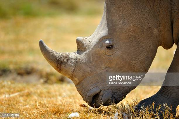 square-lipped rhinoceros (ceratotherium simum), lake nakuru national park, kenya - nakuru stock photos and pictures