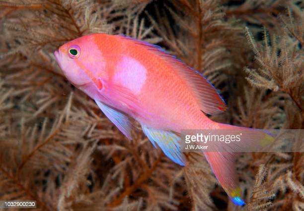 squarespot anthias or pink square anthias (pseudanthias pleurotaenia), indonesia - vista lateral stock pictures, royalty-free photos & images