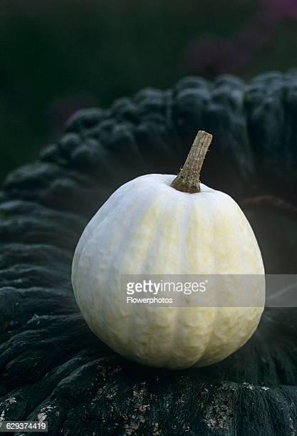 Squash Cucurbita pepo 'Swan white acorn'