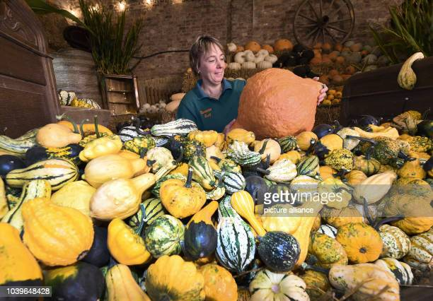 Squash farmer Susanne Rust with a large Hubbard pumpkin and other smaller squash varieties in Lower Saxony Germany 26 August 2016 Rust who sells her...