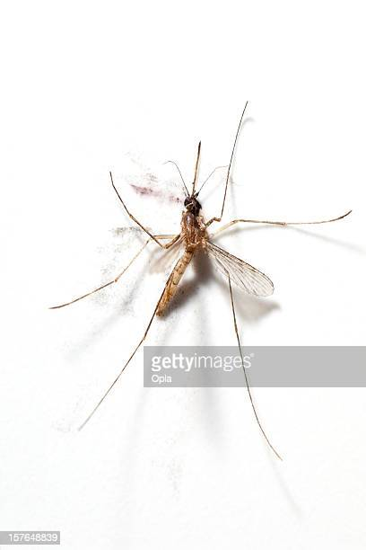 squashed mosquito - mosquito stock photos and pictures