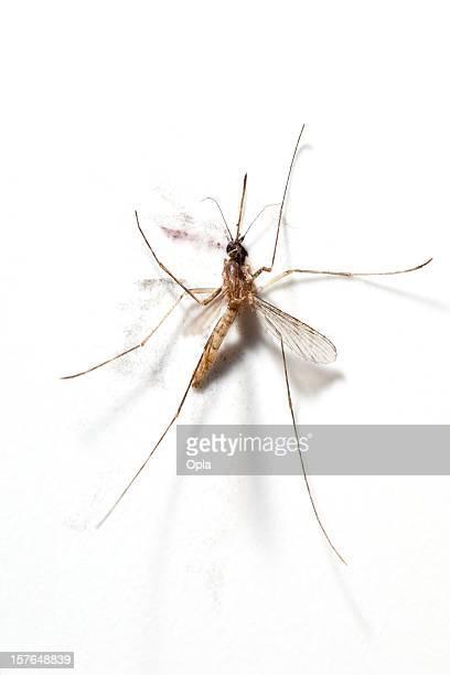 squashed mosquito - mosquito imagens e fotografias de stock
