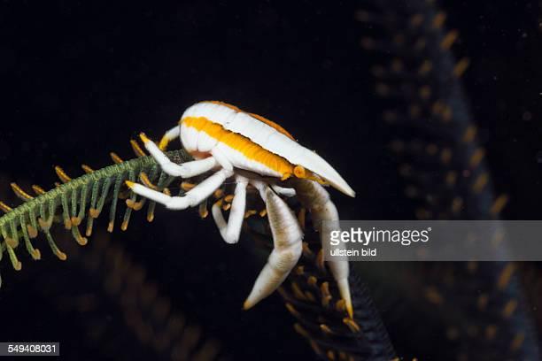 Squat Lobster in symbiotic with Crinoid, Allogalathea elegans, Alam Batu, Bali, Indonesia