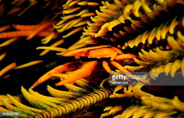 Squat lobster on a featherstar, Allogalathea elegans, Indonesia, Wakatobi Dive Resort, Sulawesi, Indian Ocean, Bandasea