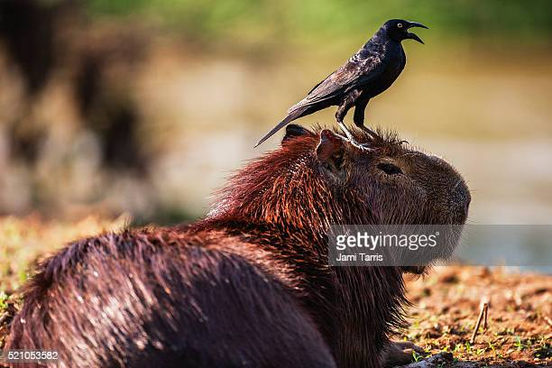 A squawking bird sitting on the head of a capybara resting in the sun