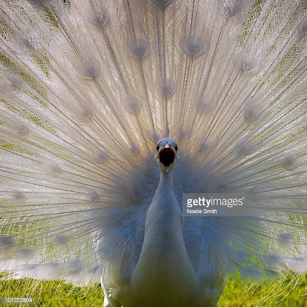 squawking peacock - stresa stock pictures, royalty-free photos & images