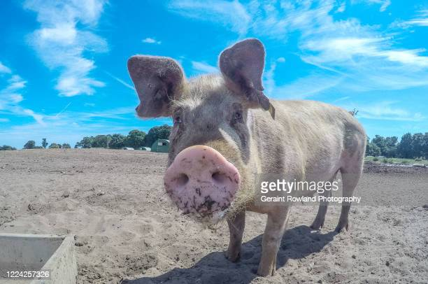squeal piggy! - pig nose stock pictures, royalty-free photos & images
