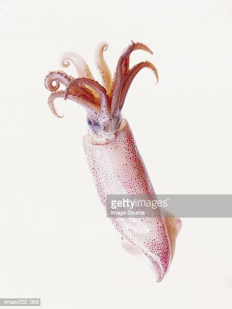 squid - lula - fotografias e filmes do acervo