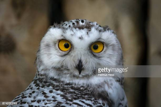 squinting snowy owl - snowy owl stock pictures, royalty-free photos & images