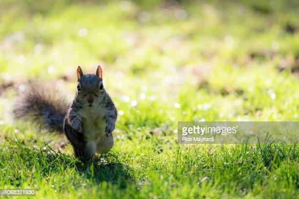 squirrel at the park - ammunition magazine stock photos and pictures