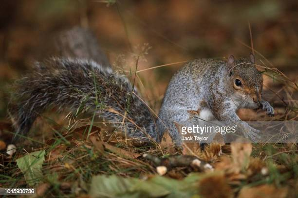 A squirrel buries a chestnut in the ground ahead of winter on a foggy morning in Richmond Park on October 5 2018 in London England The months of...