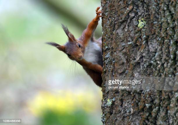 A squirrel can be seen holding on to the bark of a tree at a park in Cologne Germany 14 March 2017 Photo Henning Kaiser/dpa | usage worldwide