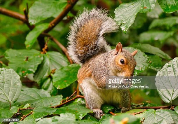 squirrel, central park, new york, usa - victor ovies fotografías e imágenes de stock