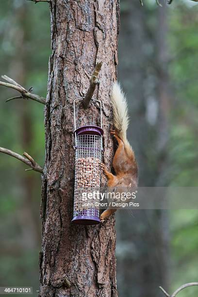 Squirrel Climbing On A Tree Trunk To Reach The Bird Feed
