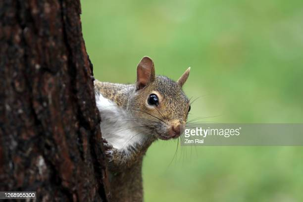 squirrel climbing up a tree trunk looking at camera against green background - squirrel stock pictures, royalty-free photos & images