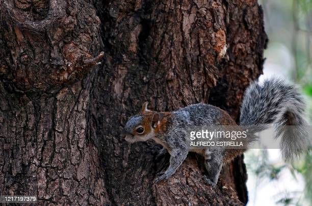 Squirrel climbs a tree at Chapultepec Park Section II, in Mexico City, on June 2, 2020 as Mexico gradually reopens its economy after more than two...