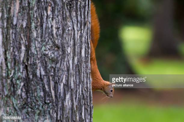 A squirrel climbs a tree in Dresden Germany 18 September 2015 PhotoArno Burgi | usage worldwide
