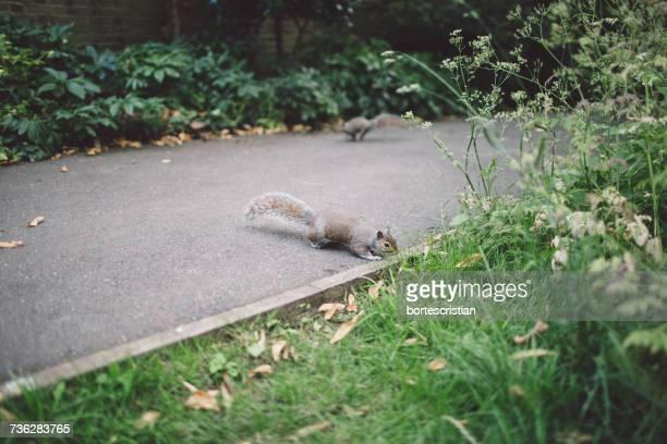 squirrel crossing an alley - bortes stockfoto's en -beelden