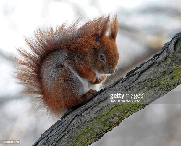 A squirrel curls up to protect itself from freezing daytime temperatures which have dropped to minus 15 degrees Celsius in Warsaw's central Lazienki...