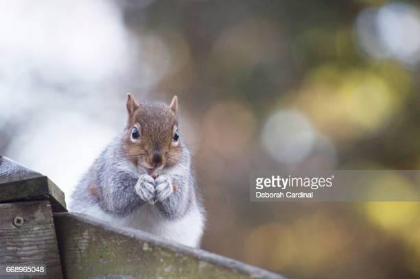 squirrel eating a nut - サットンコールドフィールド ストックフォトと画像