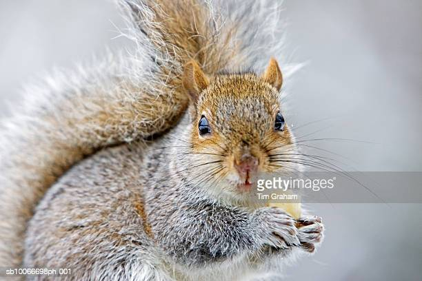 squirrel eating banana, hampstead, uk - gray squirrel stock photos and pictures
