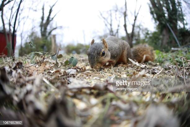Squirrel eating bird seed on ground