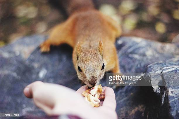 squirrel eating from a persons hand - tame stock pictures, royalty-free photos & images
