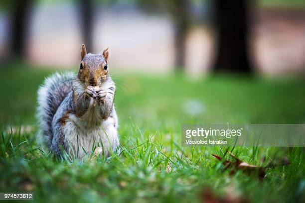 Squirrel eating in grass, Central Park, New York, USA