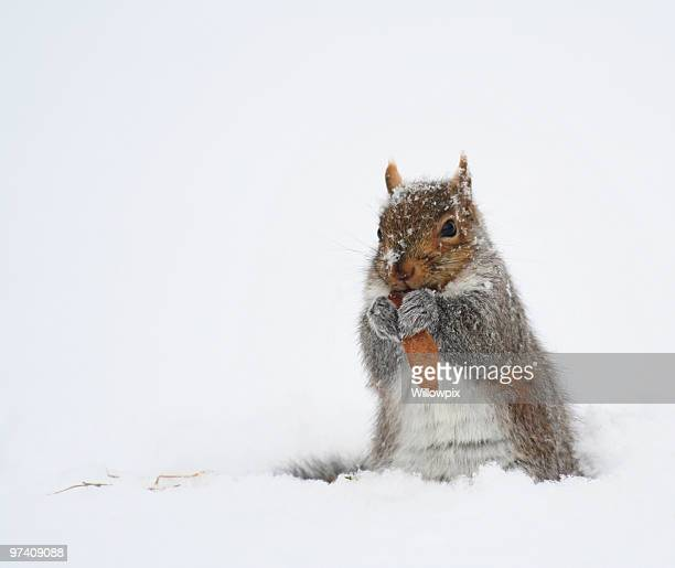 Squirrel Eating Leaf Snack in Winter Snow Blizzard