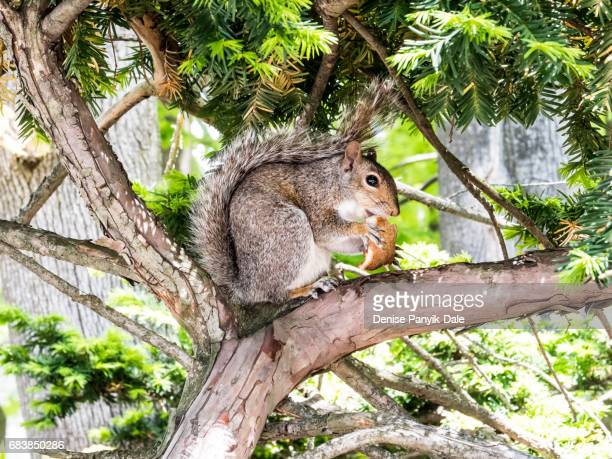 squirrel eating toast - panyik-dale stock photos and pictures
