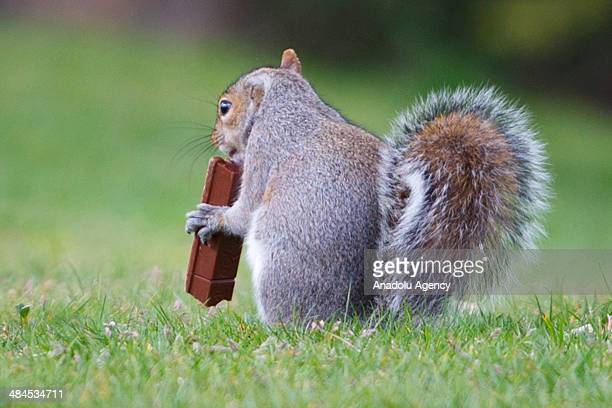 A squirrel eats a chocolate bar at Greenwich Park in London on April 11 2014 as temperature hits 17C at weekend and forecasts predict aboveaverage...