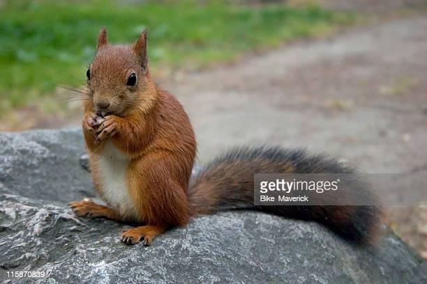 Squirrel eats a nut 1