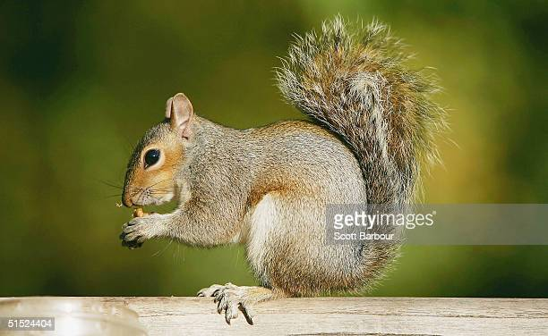 A squirrel eats a nut given to it by 'The Squirrel Man' Eddy Hall on October 21 2004 in London England Hall an eccentric London resident known...