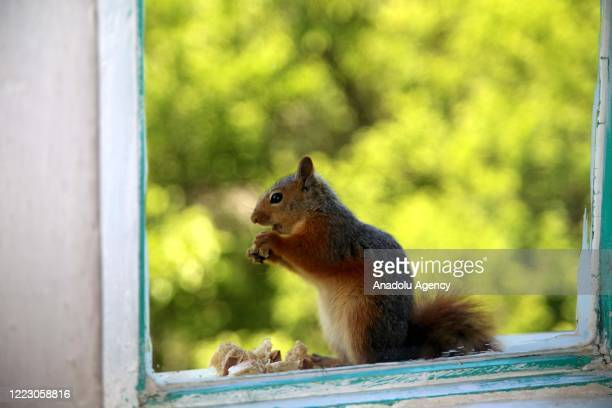 Squirrel eats food on window sill of a man's house in Kastamonu, Turkey on June 27, 2020. Squirrels come to the window sill of the man's house and...