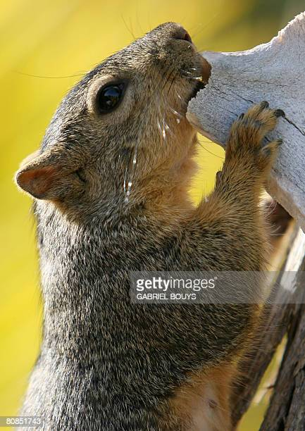 A squirrel eats in a tree in Los Angeles April 24 2008 Recently in the City of Santa Monica California officials came up with a novel way to control...