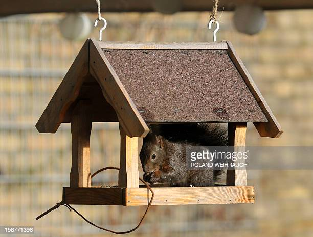 A squirrel eats sunflower seeds for birds in a birdhouse in NeukirchenVluyn western Germany on December 28 2012 AFP PHOTO / ROLAND WEIHRAUCH GERMANY...