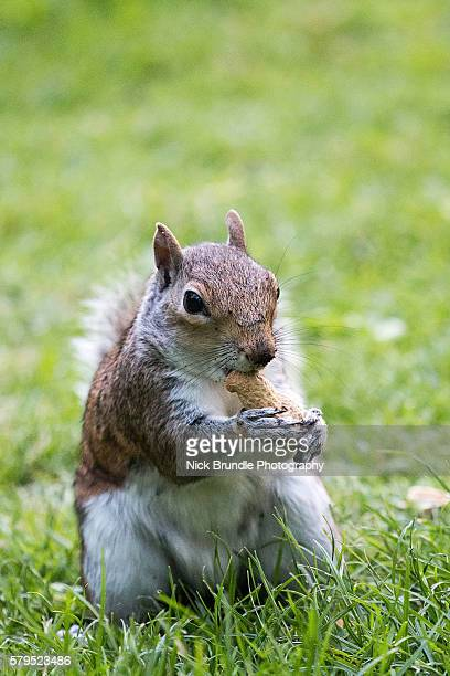 squirrel enjoying time at st james's park, london - eastern gray squirrel stock photos and pictures
