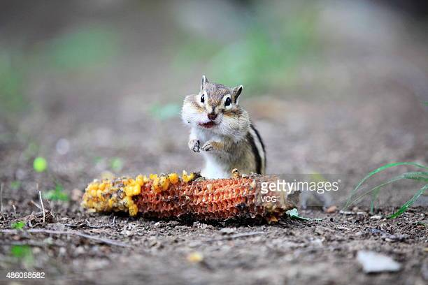 A squirrel enjoys a corn ear at a park on August 30 2015 in Heihe China