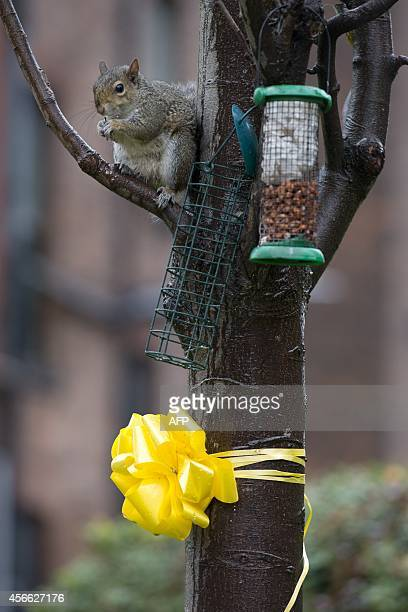 A squirrel feeds above a yellow ribbon for murdered British hostage Alan Henning tied to a tree in the town centre of Eccles north west England on...