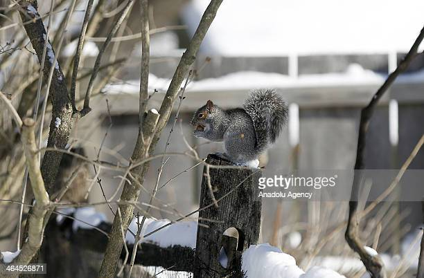 A squirrel feeds after the winter storm Janus Connecticut United States January 22 2014 Janus left 4 deaths and dropped over 30cm snow in...