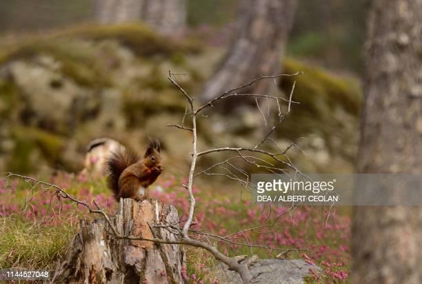 Squirrel , Fiemme valley, Trentino-Alto Adige, Italy.