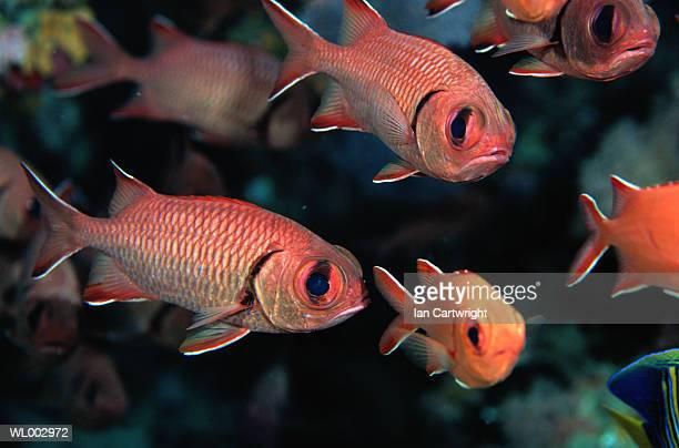 squirrel fish -- maldives - squirrel fish photos et images de collection