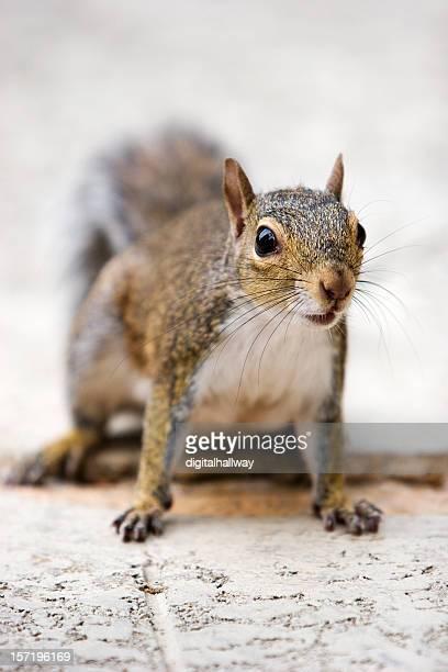 Squirrel - focus on head