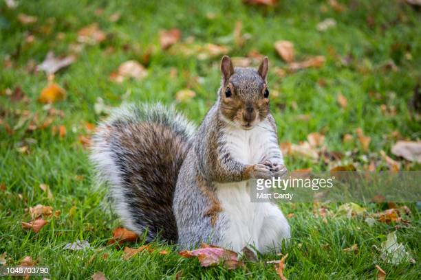 Squirrel forages for food as people enjoy the unseasonably warm weather in Baths Royal Victoria Park October 9, 2018 in Bath, England. Many parts of...