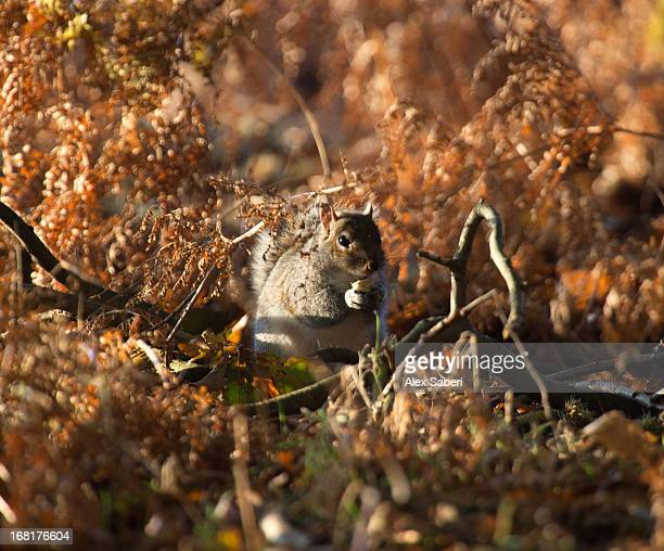 a squirrel foraging in autumn sun. - alex saberi fotografías e imágenes de stock